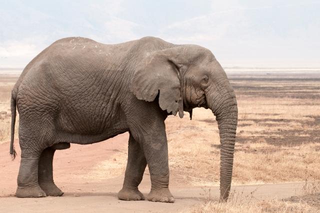 Loxodonta_africana_-_old_bull_(Ngorongoro,_2009).jpg